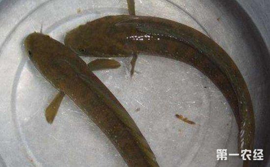 七星鱼多少钱一斤?七星鱼的养殖技术