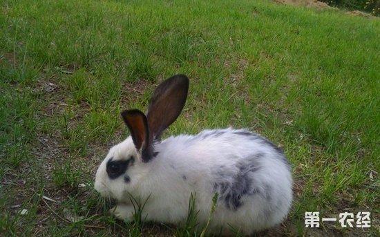 兔子腹泻了怎么办 兔子腹泻的治疗方法