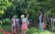 海南儋州:黄皮果园即将迎来成熟采摘季
