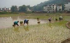 广西:深入开展粮食作物高产创建活动