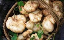 凉薯多少钱一斤?