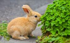 兔子育肥 兔子的育肥技术