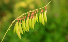 黄芪有什么功效作用?黄芪的种植技术
