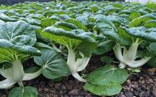 奶白菜是什么?奶白菜的种植技术