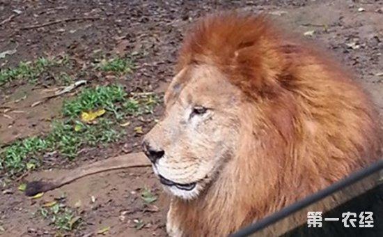 老狮子患上疾病被同伴排斥,一群小狗改变了它的生活