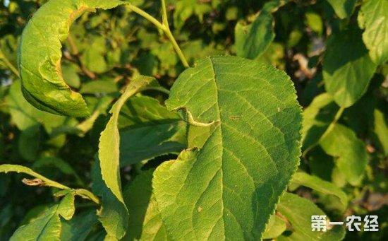 李子树病虫害有哪些?李子树主要病虫害的危害特征和防治方法
