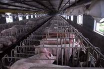 猪药用药误区养猪人千万别犯