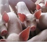 猪因营养缺乏引起的跛行、腿拐如何治疗?