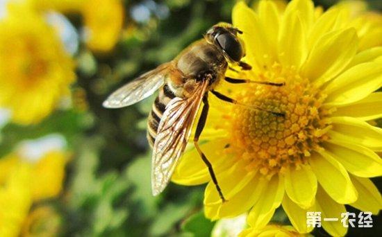 中华小蜜蜂养殖技术_蜜蜂养殖 蜜蜂养殖技术 - 养殖技术 - 第一农经网