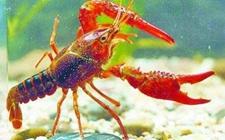 小龙虾白斑综合症怎么办 小龙虾的白班综合征的治疗