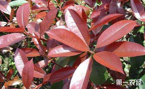 红叶石楠病虫害有哪些?红叶石楠主要病虫害的防治方法