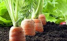 胡萝卜种植如何实现高产?胡萝卜的高产种植技