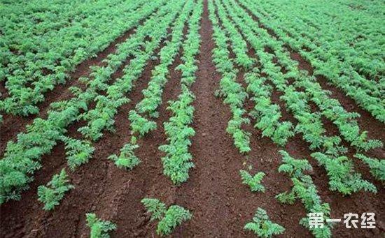 胡萝卜种植:胡萝卜种植的田间管理技术