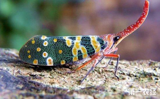 龙眼虫害有哪些?龙眼常见虫害的识别和防治方法