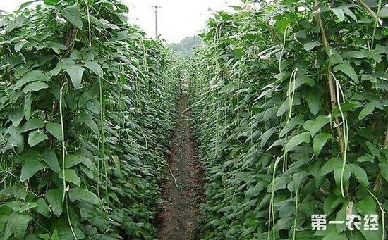 豇豆种植如何实现高产?豇豆的高产种植技术