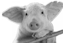 仔猪注射疫苗后的应激反应怎么防治?