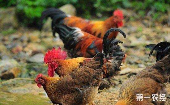 云南临沧:班搞村196户村民养鸡致富  实现毛收入64万元