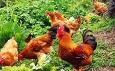 <b>蛋鸡养殖技术:新蛋鸡饲养管理的十个技术要点</b>