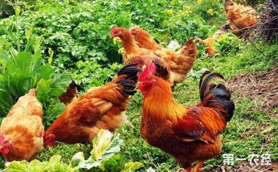 蛋鸡养殖技术:新蛋鸡饲养管理的十个技术要点