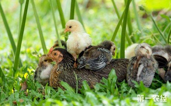 母鸡孵小鸡要注意什么?