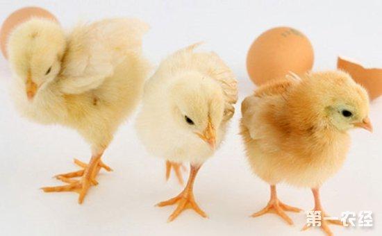 雏鸡呼吸道类鸡病的防治新法
