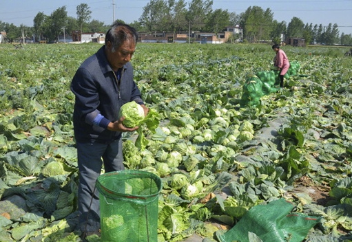 河南新乡4000万斤包心菜八分钱一斤没人要 菜农粉碎还田太可惜