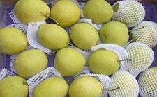 陕西礼泉:酥梨成为首个获得农产品地理标志登记保护的产品