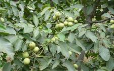 陕西米脂:农业技术送到核桃林 掀起修剪核桃热潮