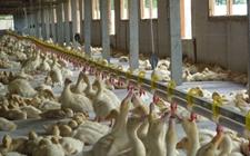 鸭病毒性肝炎怎么办 鸭病毒性肝炎治疗方法
