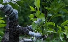 枣树怎么嫁接?5种枣树的嫁接方法介绍