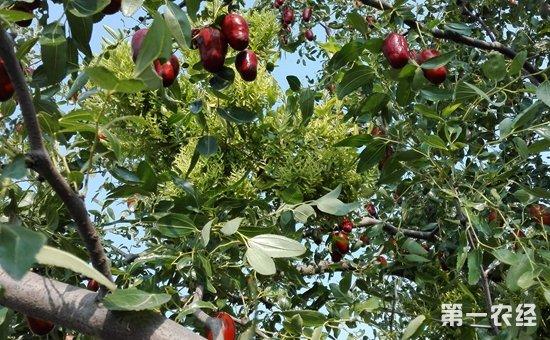 红枣有什么功效作用?枣树的种植技术