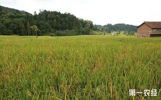 富硒水稻种植