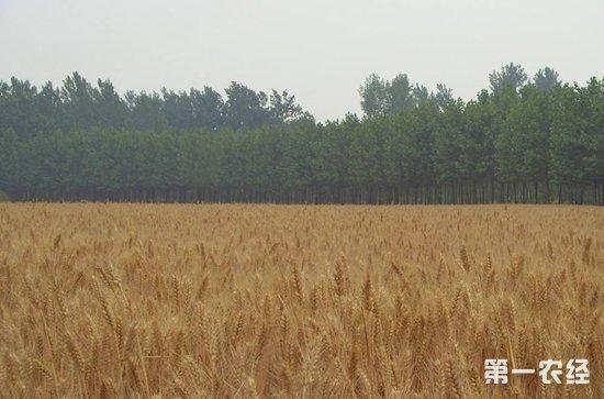 全球小麦市场