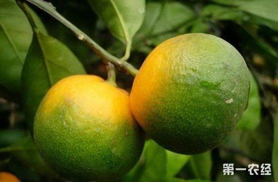 柑橘黄龙病