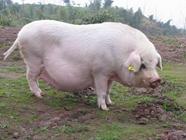 母猪瘫痪如何防治?