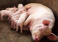 母猪为什么会出现死胎?