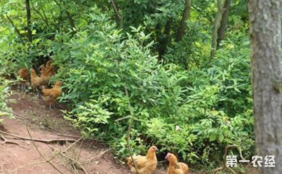 """湖南祁阳:和平村张治忠把握新""""鸡遇""""   5000余只生态鸡唱响致富歌"""