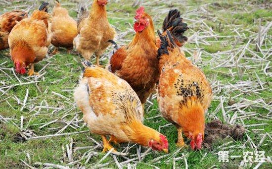 土鸡免疫接种气雾法的五大注意事项