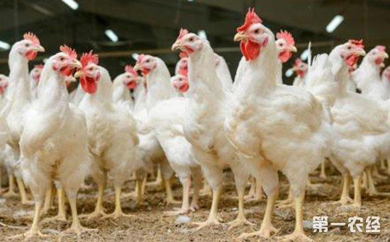常见鸡病科学防治的四大关键点