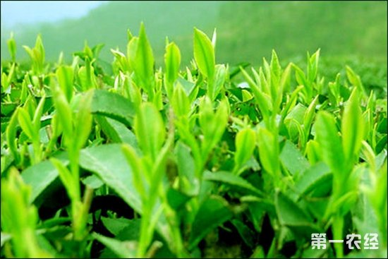 蒙顶甘露属于什么茶?