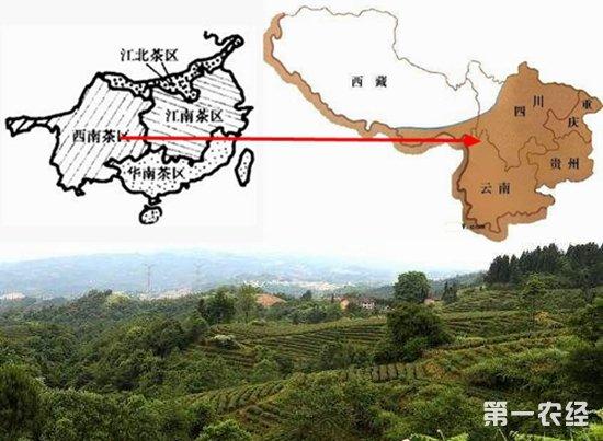"""中国四大茶区之""""西南茶区""""概况"""