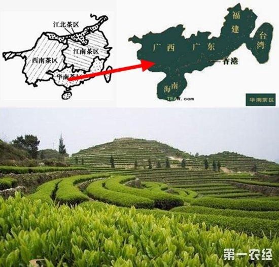 """中国四大茶区之""""华南茶区""""概况介绍"""