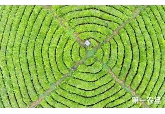 贵州安顺:千亩茶园如指纹 茶农机器抢收茶叶