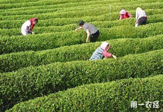 青岛海青:生态茶园美如画 种茶采茶皆有讲究