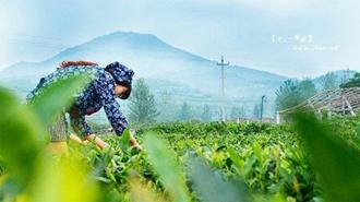 <b>青岛海青:生态茶园美如画 种茶采茶皆有讲究</b>