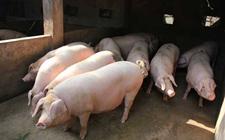 生猪价格连续回落 合理规划生猪存栏情况