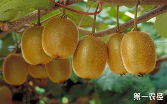 猕猴桃疏果套袋