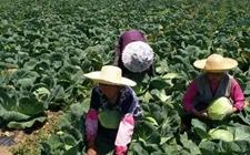 南部县雄狮乡:莲花白滞销量达300万斤 再不卖将烂在田里