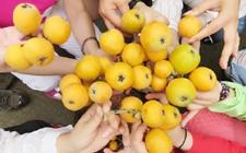 四川广元市:两千亩枇杷成熟却遇滞销 果农盼销路