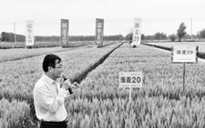 """黄海地区优质""""瑞华麦518""""小麦新品种以1200万元转让"""